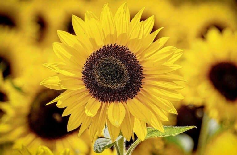Köpfe von Sonnenblumen als Symbol für die Sommerpause bei Wasi